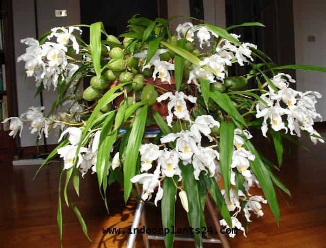 COELOGYNE CRISTATA plant