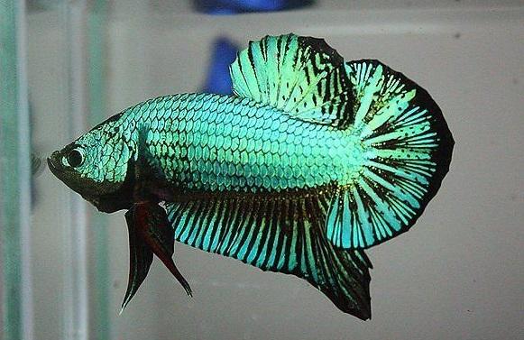 Ikan Cupang Hijau - Green Betta - Ikanhiasku.net