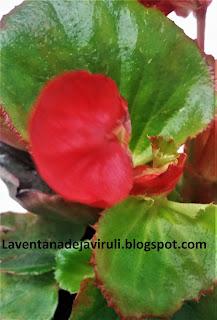 begonia-sempreflorens