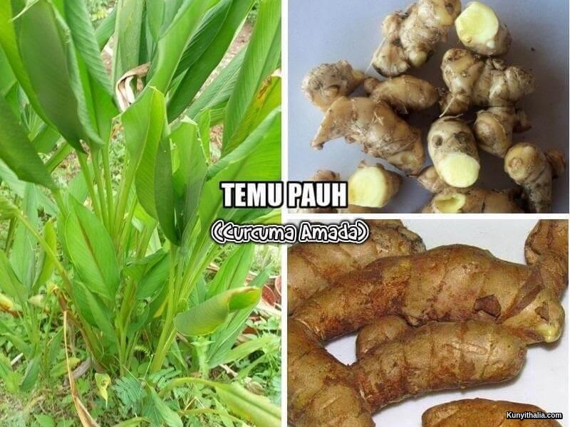 TEMU PAUH (Curcuma Amada)