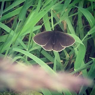 Chimney Sweep moth