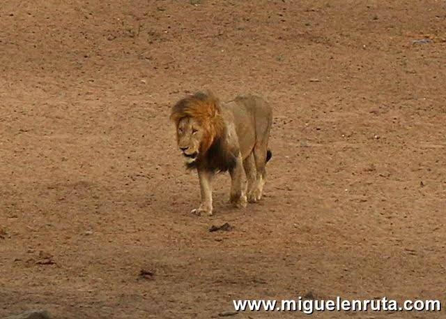 Leon-macho-Satara-Kruger