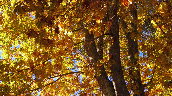Sunlight coming through many colored oak leaves
