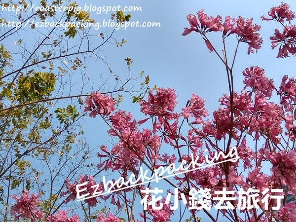 香港紫花風鈴木開花情報2021
