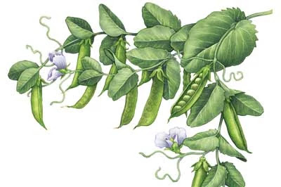 Garden pea plant