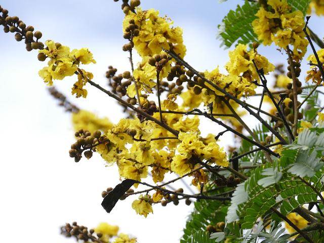 Lung linh những con đường hoa Điệp vàng