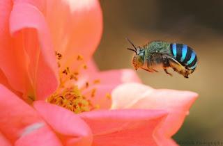 http://bio-orbis.blogspot.com/2014/06/as-abelhas-azuis-australianas.html