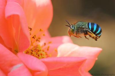 https://bio-orbis.blogspot.com.br/2014/06/as-abelhas-azuis-australianas.html
