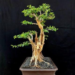 Ciri-Ciri Pohon Sisir di Alam Liar