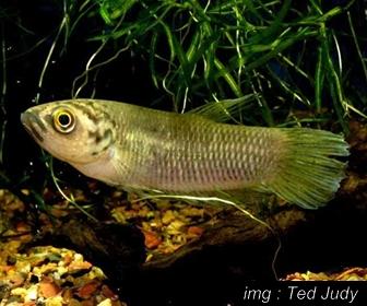 Jenis Ikan Cupang Spesies Betta Pi