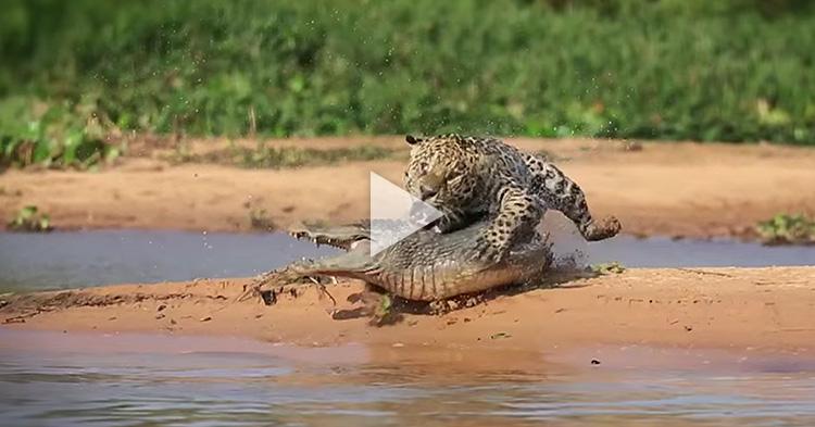 See how this ferocious Jaguar hunts down a big Crocodile
