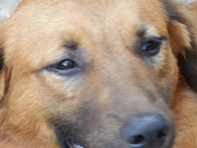 cachorro marrom SID