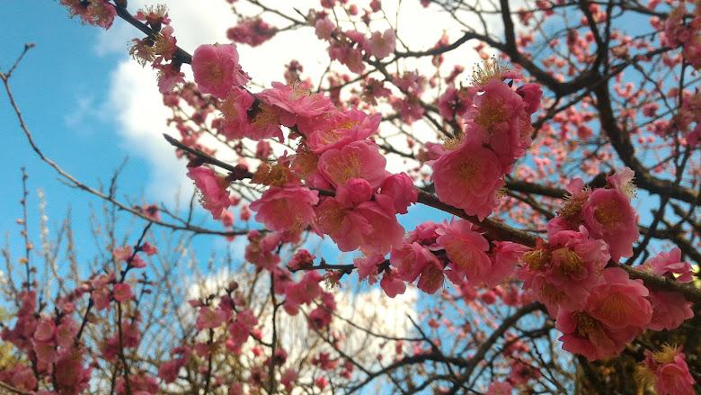 北野天滿宮內的櫻花
