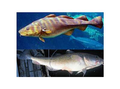 10 Manfaat Minyak Hati Ikan Cod