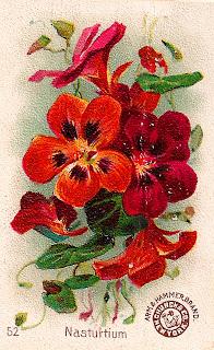 flower nasturtium botanical art image clipart illustration