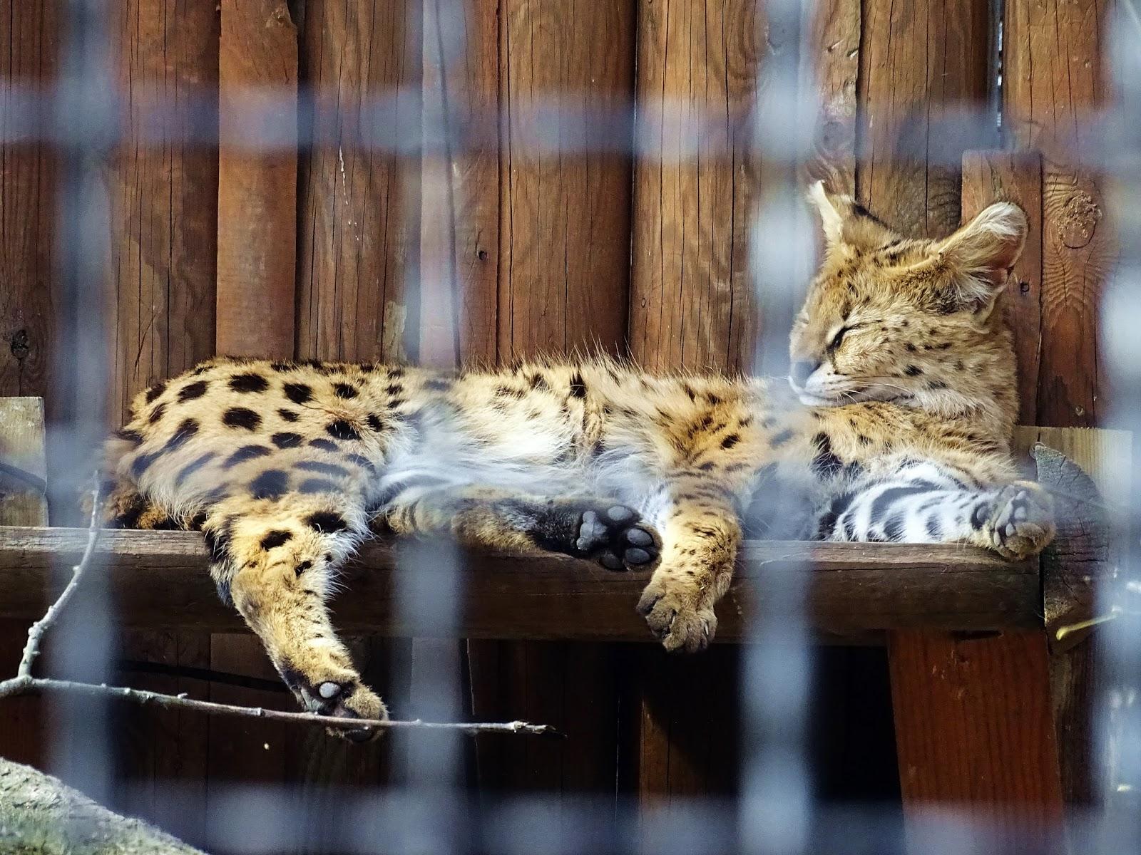 śpiący dziki kot