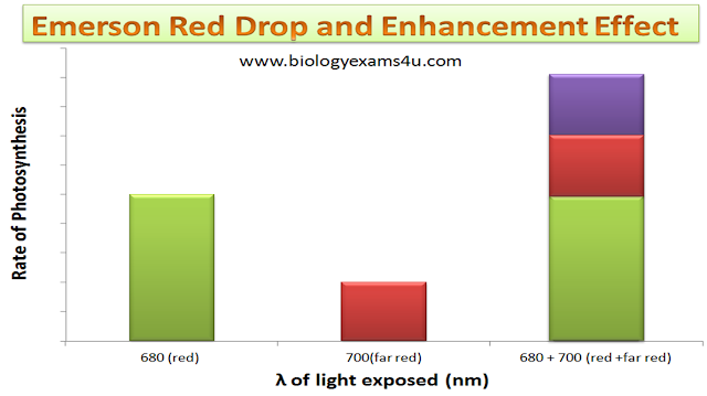 Summary Emerson Red Drop and Enhancement Effect