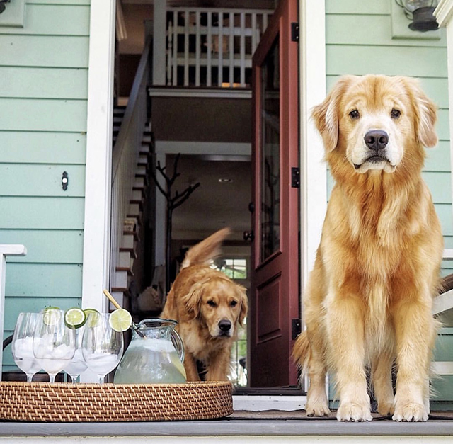 Golden Retrievers Lemonade