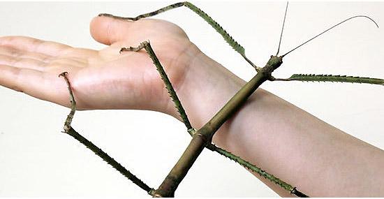 Inseto mais comprido do mundo tem mais de meio metro de comprimento