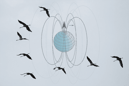 Pemanfaatan Medan Magnet Pada Migrasi Hewan