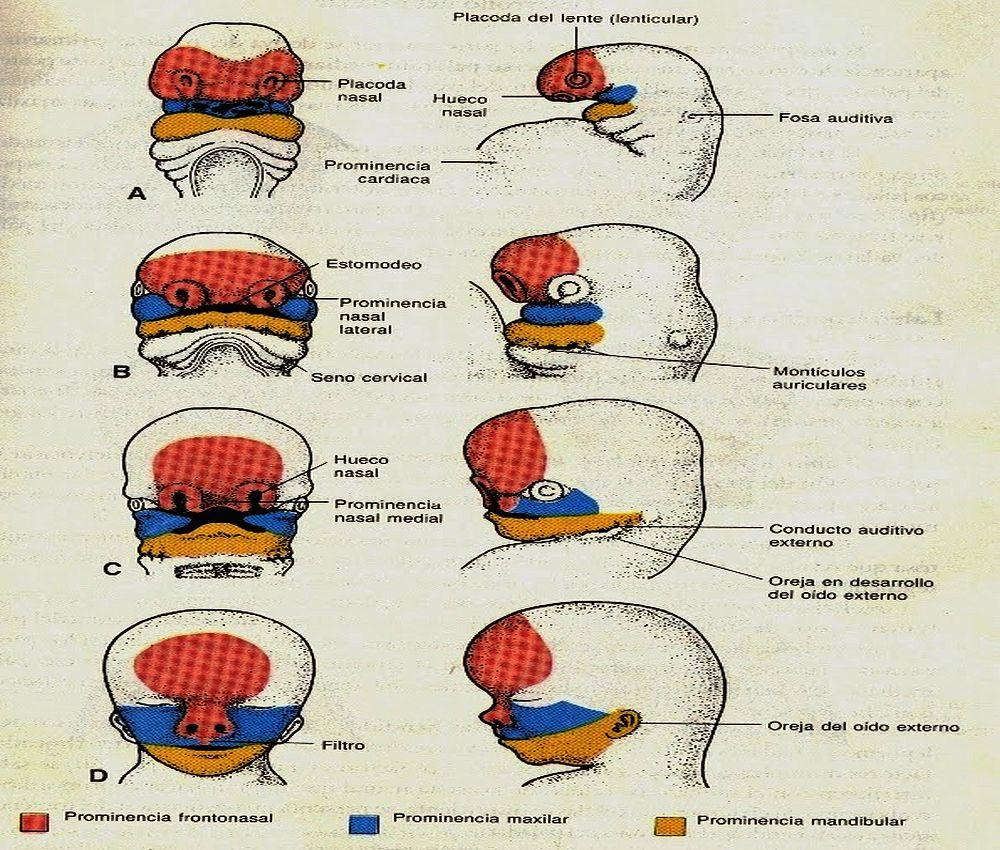 embriologia-odontologia