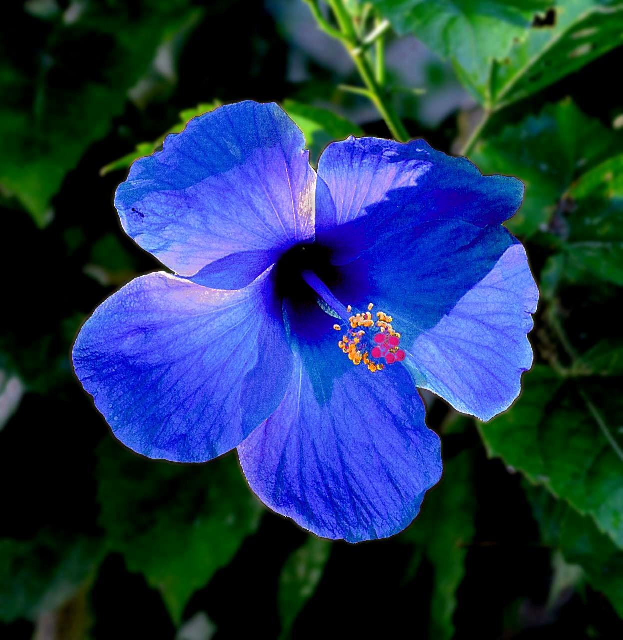 Di Ujung Islam Bunga Raya Bunga Kebangsaan Malaysia