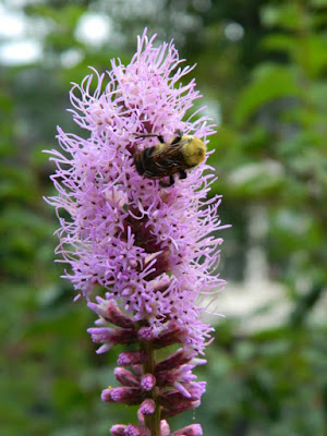 Blazing star Liatris spicata Toronto ecological gardening by garden muses-not another Toronto gardening blog