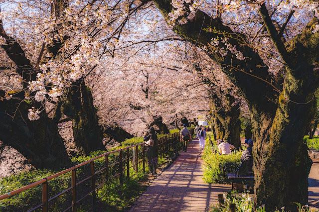東京,有名,桜,スポット,千鳥ヶ淵