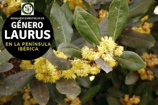 El género Laurus son arboles perennifolios, dioicos, con hojas sencillas, coriáceas
