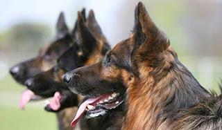 Abren convocatoria para destacar labor de binomios caninos