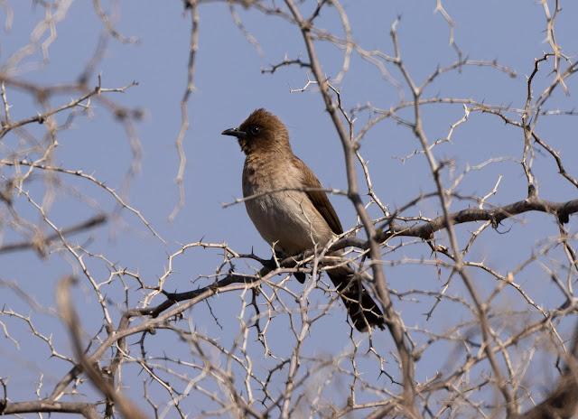 Common Bulbul - Taroudant, Morocco
