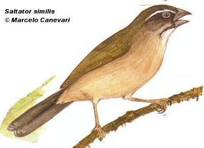 Pepitero verdoso Saltator similis