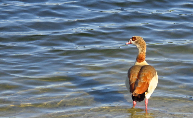 Egyptian goose on the lake