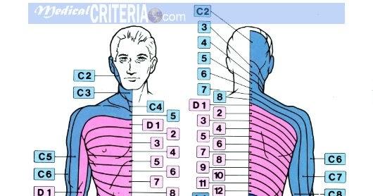 Aprende los DERMATOMAS de una manera fácil + VIDEO - Medicina ...