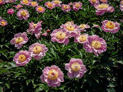 Shakuyaku (Paeonia lactiflora) flowers:Ofuna Botanical Garden