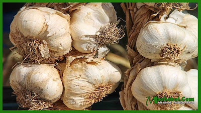 Botani dan Komposisi Bawang Putih | Budidaya Pertanian Bawang