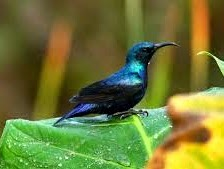 Purple Sunbirds