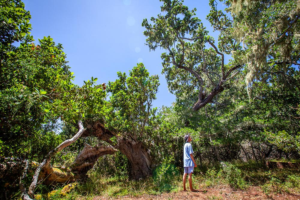 Garden Route, Plettenberg Bay, Champion Tree