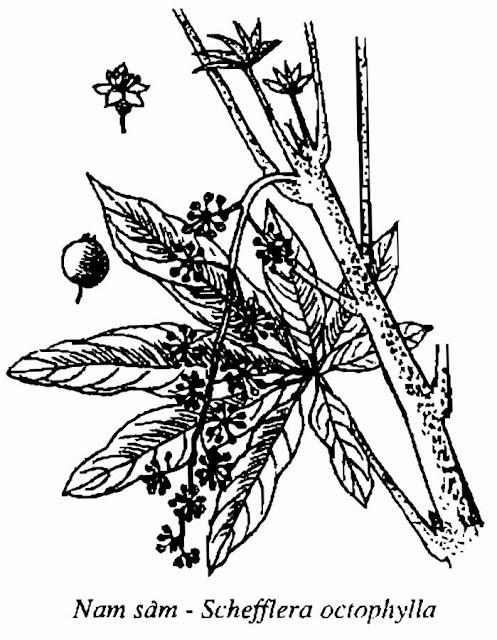 HÌNH VẼ NAM SÂM - Schefflera octophylla - Nguyên liệu làm Thuốc Bổ, Thuốc Bồi Dưỡng