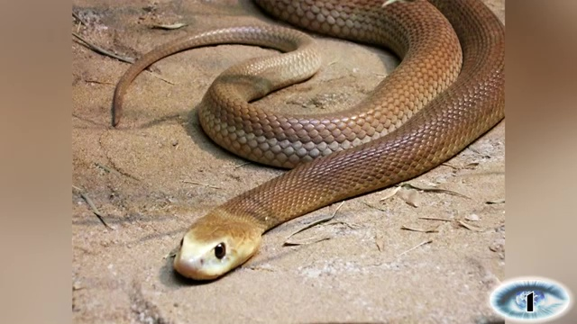 The Inland Taipan, most venomous snake, most poisonous snake, top ten venomous snake, top ten poisonous snake