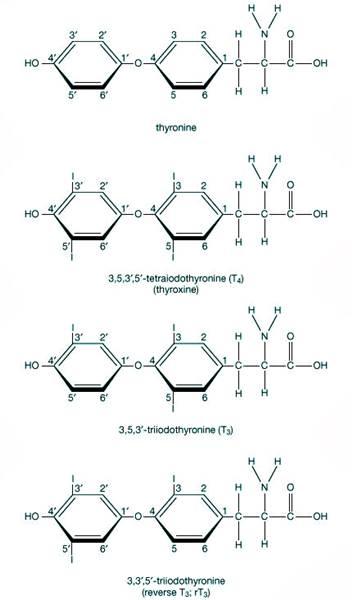 Sistema endocrino: glándulas y hormonas - funciones e historia