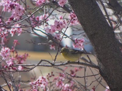 Wild Canary takes a  break in the ornamental cherry tree outside my kitchen window. photo ©2018 Tina M.Welter