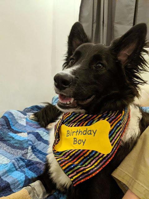 border collie dog with a birthday boy dog bone embroidered on a bandana