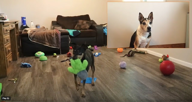 One of the untidy princes from The Prince and the Pea, a black dog playing with a toy, while the Princess (dog) looks on