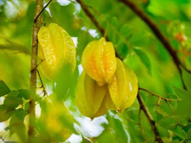 Prospek Budidaya Belimbing Dewa Secara Komersil