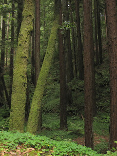 Moss-covered trees, redwoods, ferns, and redwood sorrel.