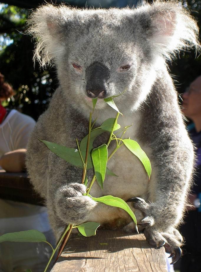 Cute Koala Wallpaper Wildlife Koala Bear Images 2011
