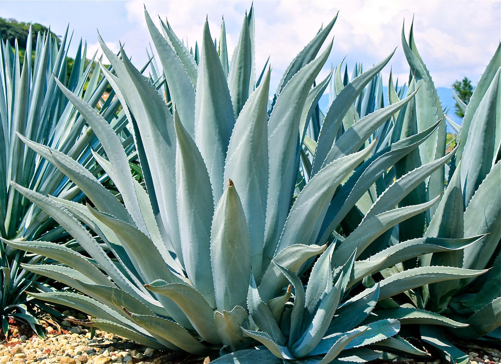 It's Agave, Not Tequila – Wiggly Bridge Distillery |Blue Agave Plant
