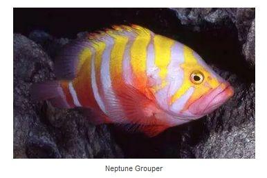 Neptune Grouper