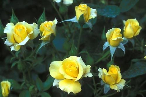 Rose Garden Yellow Roses In My Garden